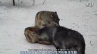 【授权译制】狼群如何抵御寒冷 - 国际狼中心