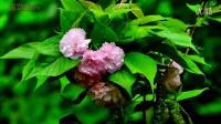 春天的花语(音乐:田野静悄悄)2014.4.mpg-1