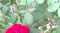 玫花[2014.5.23]