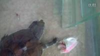 傻龟吃鱼记