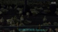 1肉鸭专用水线料线工作中_0