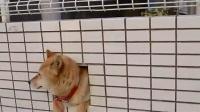 墙壁里的柴犬(壁の柴犬 )
