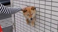 墙壁里的柴犬 2(壁の柴犬 2 )