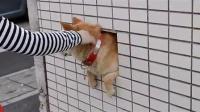 墙壁里的柴犬3(壁の柴犬 3)