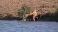 震撼场面!狮子家族吃小野牛被母亲煽动族群围殴!