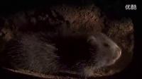 两种专吃竹子的可爱动物竹鼠和大熊猫【BBC美丽中国】_标清