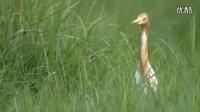 江苏大丰县湿地保护区四不像动物-麋鹿【BBC美丽中国】_标清