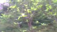 枇杷树移植东校园