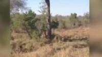 同类间的生死对决两只猎豹围绕大树展开的生死缠斗