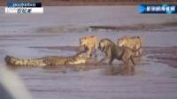 3只狮子围攻鳄鱼 战斗惨烈画面曝光