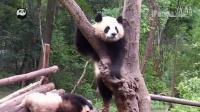我是熊猫第03期