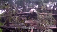 熊猫日记第03期-那几天被雨淋过的滚滚