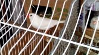 白珍珠鸟终于孵出小鸟啦!141013