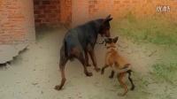 莱州红犬基战马犬