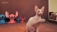 SPHYNX 纯白色斯芬克斯猫 男孩 (加拿大无毛猫)【紫英猫舍】