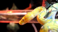 New SUPER TAME Biak Female Green Tree Python 'a closer look'
