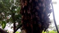 大学校园发现的一小小一中华蜜蜂群VID_20140422_174239