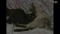 宠物猫饲养系列——仔猫照料