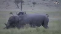 Rhino vs Buffalo, Rhino Kills Buffalo