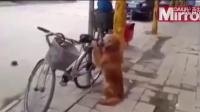 金毛忠犬看管主人自行车 结尾爆笑