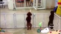 人宠情缘之狗狗热舞 宠物也疯狂 超清搞笑视频