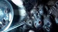 【大丁视频】猩猩身上的超大寄生虫_标清