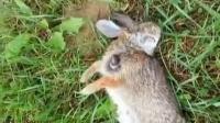 【大丁视频】野兔尸体爬出恐怖寄生虫_标清