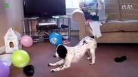 搞笑狗狗们玩气球的视频集锦!