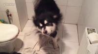 狗狗去哪儿 上门洗澡服务 kid甩水全套慢动作