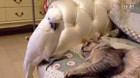 贱贱的鹦鹉吵醒睡觉的猫咪
