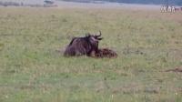 单只斑鬣狗捕杀角马