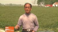 陶氏益农小麦技术片-(1)
