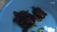 家中新收养的两只小龟