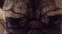八哥犬鼻短眼睛大憨厚可爱