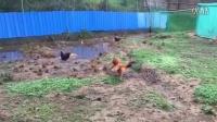 斗鸡:弯尾vs土鸡群老大