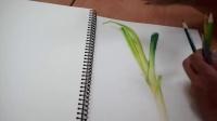 [萌绘]色铅笔绘葱流程