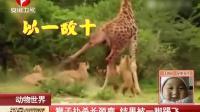 动物世界:狮子扑杀长颈鹿  结果被一脚踢飞 每日新闻报 150419