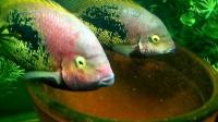 Paraneetroplus bifasciatus 'Rio Chacamax' With Fry