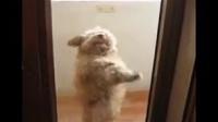 【萌宠】舞蹈达狗-最会跳舞的汪星人