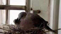 宝宝初看世界 小斑鸠和妈妈 听儿歌《小斑鸠对我说》