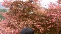 重庆巴南五州园赏红枫叶