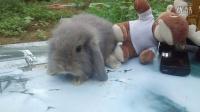 66号 暗棕色垂耳兔 公兔 年龄30天 150元 包活15天