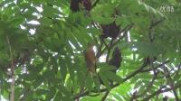 金翅雀求偶叫声