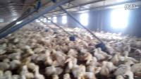 中奥鸭1场-已经养鸭水线料线-钢构肉鸭棚