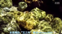 Stiphodon rutilaureus 浅红枝牙虾虎