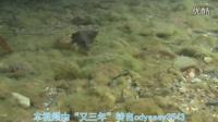 冲绳皇枝牙Stiphodon alcedo