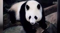 成都偷拍熊猫薇薇和她的朋友们