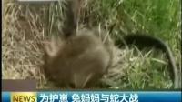 为护崽 兔妈妈与蛇大战 150625 早安江苏