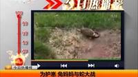 为护崽 兔妈妈与蛇大战 天天网事 150625