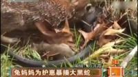 兔妈妈为护崽暴揍大黑蛇   150628  天天视频汇